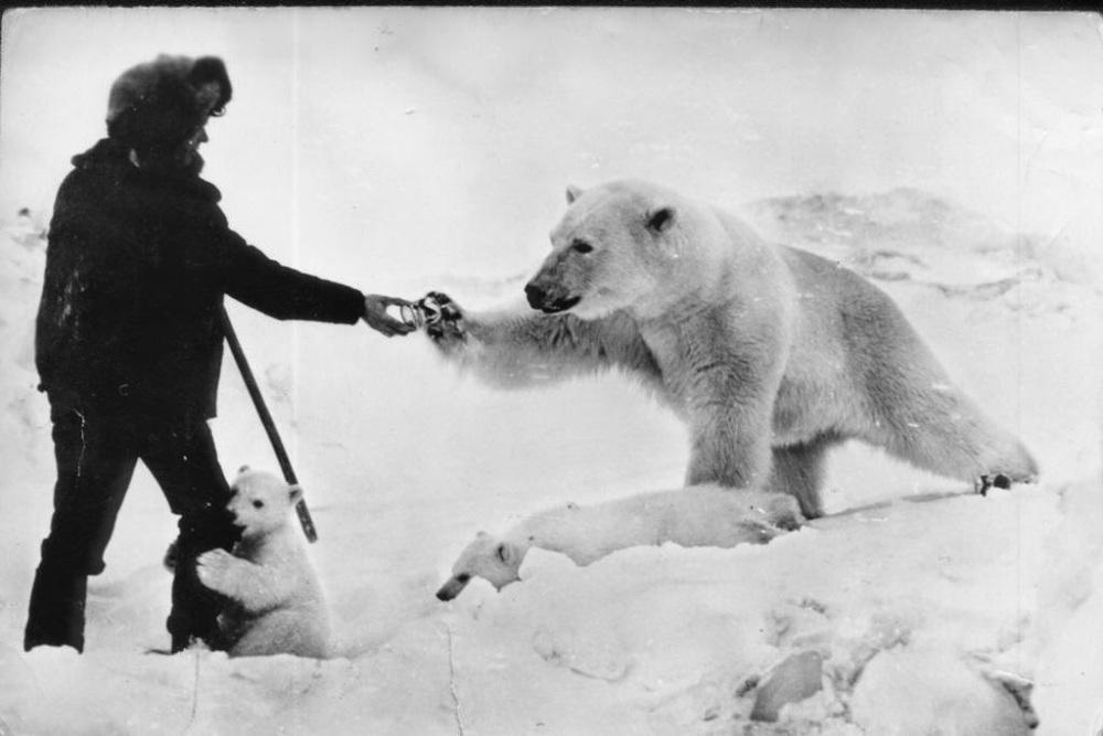Feeding polar bears from a tank, 1950 (4)